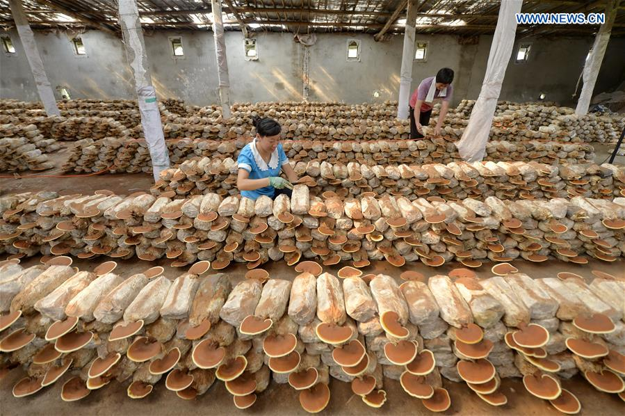 Mushroom cultivation increases local farmers' income