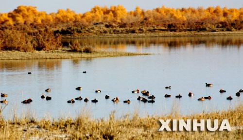 11月17日,一群水鸟在新疆尉犁县境内塔里木河下游的湿地中戏水。经过多年的综合治理,塔里木河下游生态面貌得到改善,许多胡杨重新焕发生机。 新华社发(任玉勇 摄)