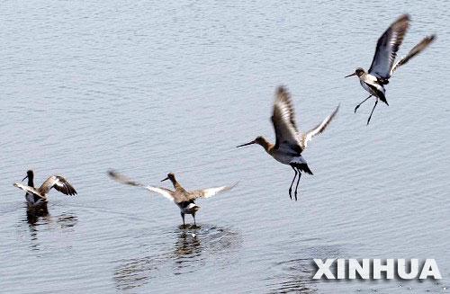 这是在河北省沧州市黄骅港湿地飞翔的候鸟(9月21日摄)。近年来,沧州师专生物系副教授孟德荣和当地的鸟类保护志愿者们定期对迁徙的候鸟进行观察和监测,并为4000多只候鸟做了环志。他们还建立了野生动物救助站,截止到目前已救治近40种共280多只受伤候鸟,使途经的候鸟有了安全栖息地。沧州沿海有大片滩涂,是鸟儿迁徙的理想停歇地,每年约有260多种迁徙鸟类经过沧州。 新华社记者侯东涛摄