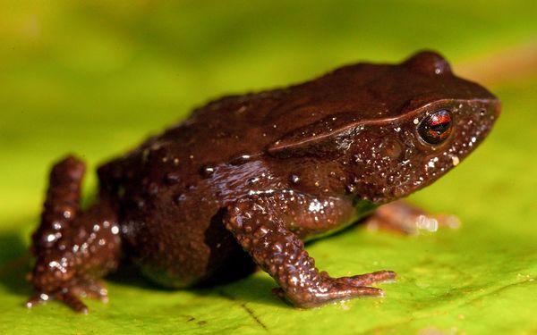 3个新种类的青蛙(组图)