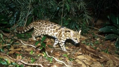 巴西研究人员发现虎猫新物种拟立法保护(图)
