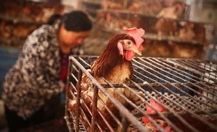 H7N9流感致家禽业损失200亿元