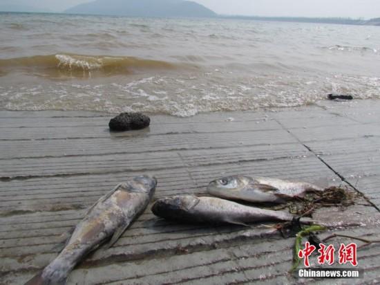 南京金牛湖现死鱼 起因众说纷纭(组图)