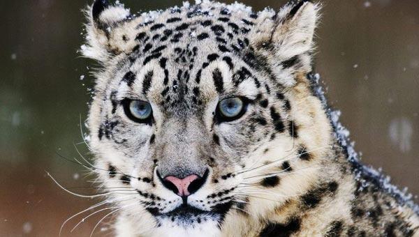 西藏陆生野生动物资源调查中发现雪豹