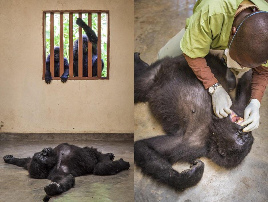 兽医团队精心看护大猩猩