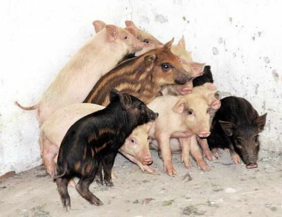 母猪发情逃进深山 数月后领回13只野猪仔