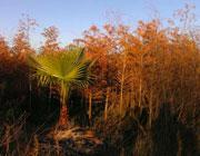 【精彩呈贡】霞光中的棕榈树