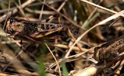 河南大量蝗虫蚕食玉米 飞机喷洒农药灭杀(组图)