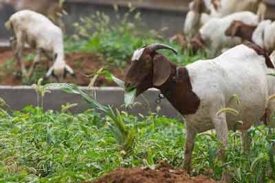 """在安徽萧县闲置""""政府办公楼""""前的杂草丛,当地居民在此放羊"""
