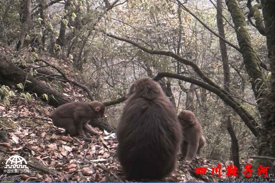 在四川鞍子河自然保护区,红外相机陆续拍摄到了保护区内许多野生动物的照片。其中既有憨厚可爱的熊猫、凶猛敏捷的雪豹,也有肥硕健壮的猪獾和善于奔跑的斑羚,以及水鹿、岩羊、白腹锦鸡、绿尾虹雉、黄喉貂等一系列珍稀动物。另外,从2012年起,保护区已将红外相机监测用于人为活动干扰监测中。2013年,保护区拍摄到珍稀野生动物雪豹。2014年,首次拍摄到野外大熊猫的嗅味标识行为。由于地处高山峡谷区、人为干扰极少、植被至今保存完好,孕育了大熊猫、雪豹等多种野生动物,被誉为野生动物生长的伊甸园、邛崃山系大熊猫的爱情走廊。