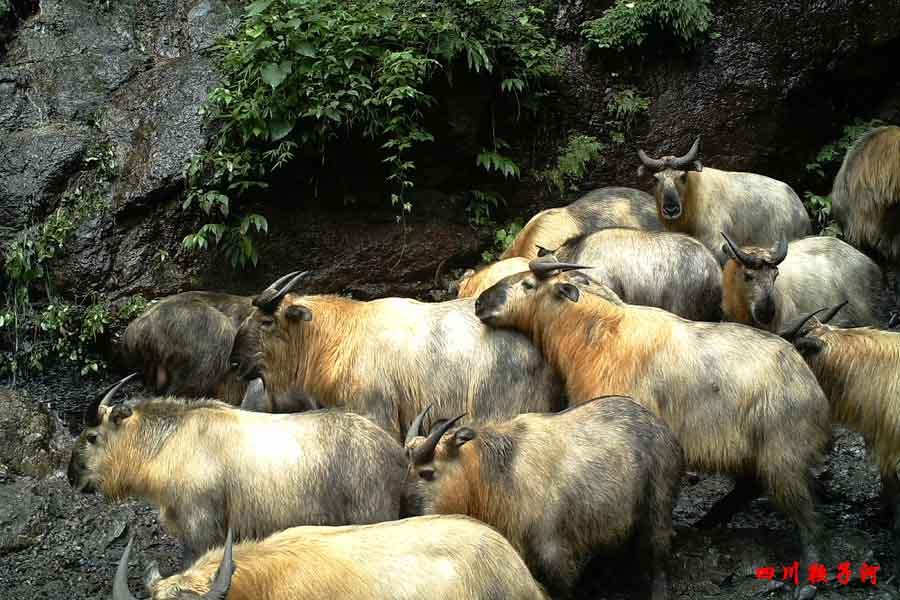 野性鞍子河:红外相机下的野生动物[图]