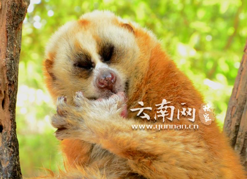 珍稀动物蜂猴白天普洱太阳河国家公园枝头觅食萌爆