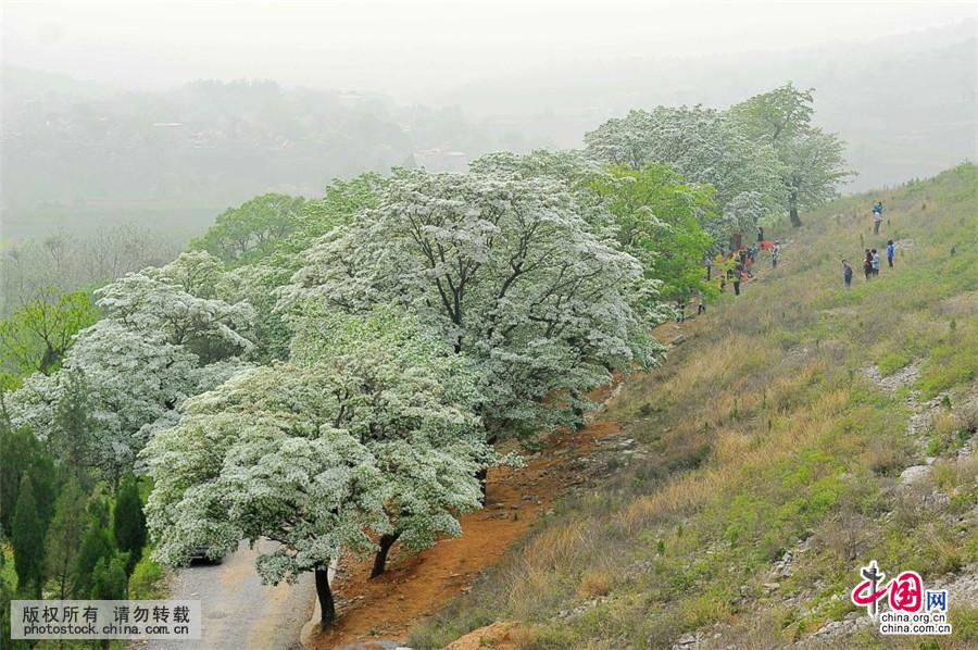 该景区内成片的流苏树共60多棵,堪称为山东最大的流苏林,树龄最大的一
