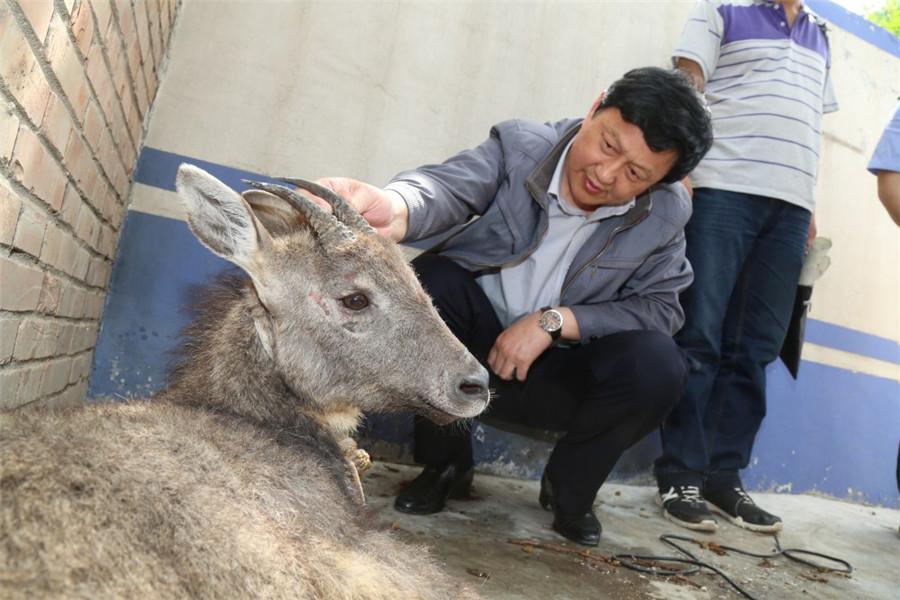 陕西渭南首次发现国家二级重点保护动物斑羚_中国发展