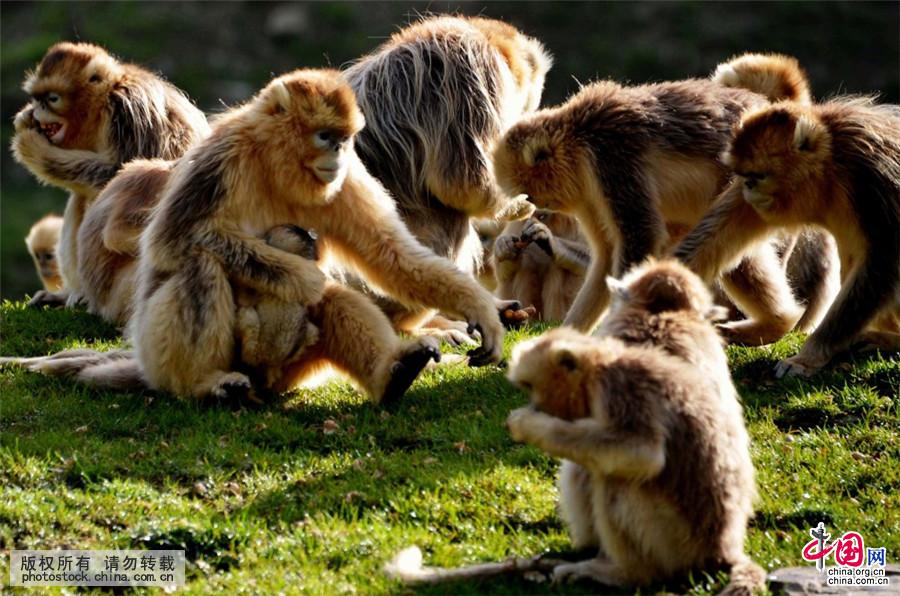 据介绍,目前这群野生秦岭金丝猴还有大约20个家庭170只左右,每天早中