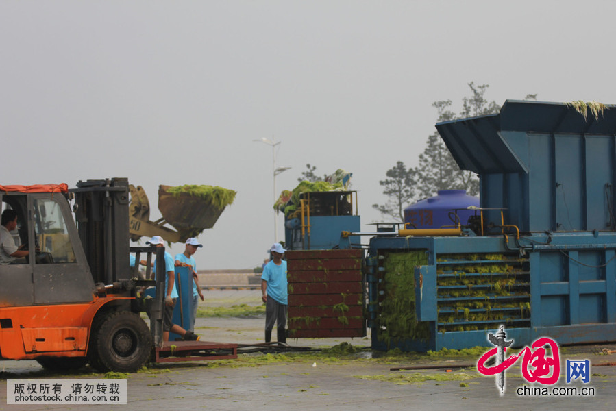 工人在青岛八大峡广场对浒苔进行脱水打包无害化处置