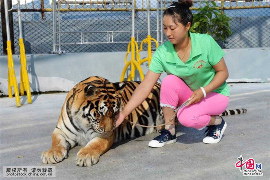 2015年7月29日,山东青岛森林野生动物世界,李奎艳在演示场与东北虎亲昵。中国网图片库 俞方平/摄 山东青岛森林野生动物世界有一位常年与东北虎、非洲狮等猛兽打交道的驯兽员,因其骑在老虎身上被观众亲切誉为虎女郎。虎女郎名叫李奎艳,今年30岁,来自驯兽之乡安徽阜阳,从事动物训练9年了。9年来,李奎艳与青岛森林野生动物世界众多猛兽打交道,东北虎、非洲狮、黑熊等猛兽,在她训导下像一只只可爱的宠物,给众多观众带来欢乐,特别受到小观众的喜爱。 李奎艳每天清晨都要带领动物在演示场散步、遛弯,增进自己与猛兽的感