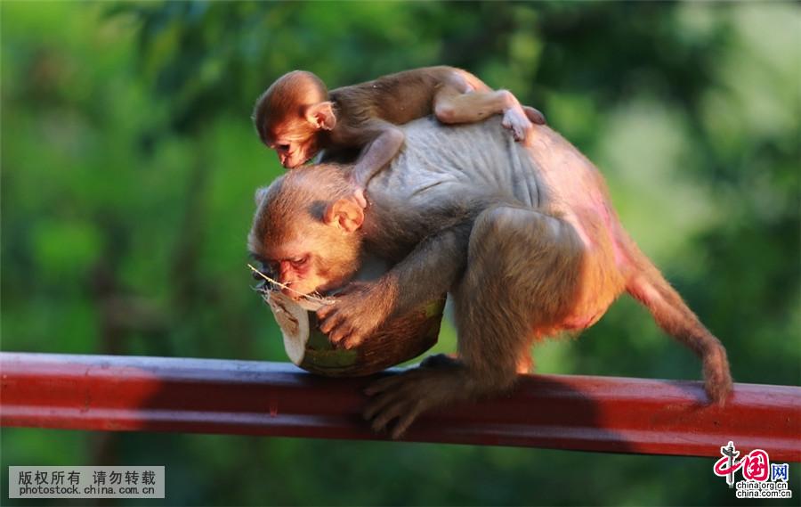 8月10日,鹿回头山顶公园,一只母猴背着幼猴在觅食。中国网图片库 作者:袁永东 海南三亚鹿回头山顶公园,常年生活着300多只野生猕猴,每年七八月的时候,都有数十只猴宝宝出生。 8月10日,鹿回头山顶公园,发现多只猕猴带着幼崽在山上树林里觅食,猴妈妈将可爱的小猴宝宝带在身边,这些一两个月大的猴宝宝,有的爬在妈妈背上,有的躲在妈妈怀里,睁着圆圆的眼睛看着外面的世界,也有的在路边蹒跚学步、觅食,憨态可掬,不时引来众多游客开怀大笑。 据景区工作人员介绍,鹿回头山顶公园地处三亚火岭市级自然保护区内,是三亚市政府1
