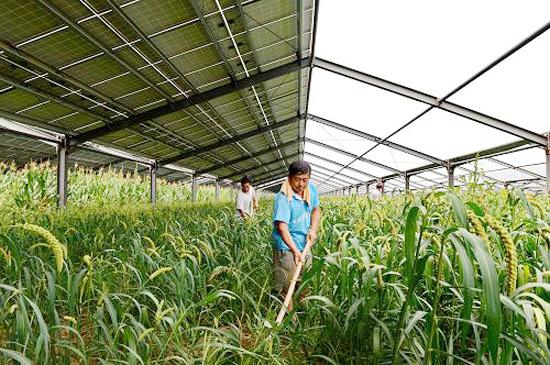 """8月19日,农民在巨鹿县""""农光互补""""生态农业大棚内劳作."""