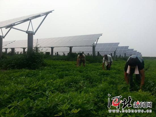 农民正在建有光伏电站的花生地里劳动