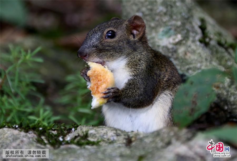 9月7日,在黄山风景区拍摄的一只精灵顽皮的小松鼠。中国网图片库 施广德/摄 当日,秋雨过后的安徽黄山风景区天空放晴,黄山精灵小松鼠沐浴久违的阳光,或上蹿下跳在灌木丛里,或与游客之间亲密接触嬉戏,被人们称之为黄山精灵小松鼠。据黄山志记载,黄山松鼠是赤腹松鼠的一种,主要是栖居在树林中,耳端无簇毛,体色鲜艳,尾大。眼睛闪闪有光,身体矫健,四肢轻快,非常敏捷机警。 本网部分展示图片作品享有版权,详见产品付费下载。 购买请拨打 010-88828049 中国网图片库咨询详情