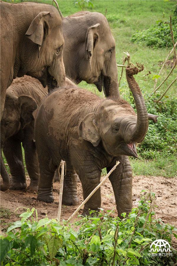图片来源:世界动物保护协会 天然的泥浆为大象带来了欢乐,一个大象家庭找到了一处合适的浴室,正在集体洗泥土浴。无论大象小象,纷纷扬起鼻子把脚下还有些潮湿的泥土撒在自己的头上、背上。绒毛未褪的小象开心地甩了一把泥土,似乎在说:耶!想跟我一样痛快玩泥巴? 大象是现存世界上最大的陆地栖群居性哺乳动物,通常以家族为单位活动,有时几个象群聚集起来,结成上百只大象;象牙是防御敌人的重要武器;大象的皮层很厚,但褶皱间的皮肤很薄,因此常进行泥土浴、泥浆浴这是大象自我保护的方法。大象虽然皮糙肉厚,