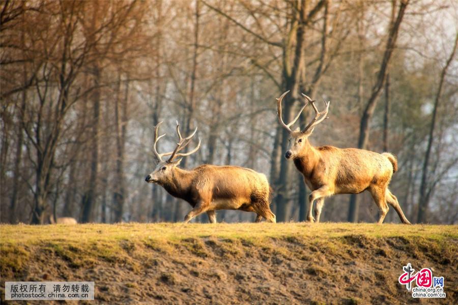 世界占地面积最大的麋鹿自然保护区_中国发展