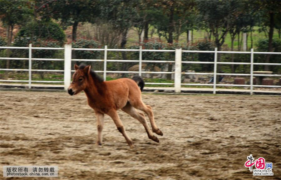 3月24日,1匹小马驹在宁强县矮马繁育中心场内奔跑。中国网图片库 作者:吴天文 近日,陕西省宁强县矮马繁育中心又增添了7匹可爱的小马驹。据悉,今年四、五月份,该矮马繁育中心还将再增添3匹小马驹。 濒临绝迹的我国珍稀矮马品种---陕西宁强矮马是农业部国家级畜禽遗传资源保护名录的马种,以体小精悍、耐渴耐劳、善跋山涉水、抗病力强、科研价值高等特征闻名。经过多年来的有效保护,宁强矮马在宁强县的种群数量持续增加。目前,全县有体高106厘米以下矮马210多匹,比1990年种群数量增长21.