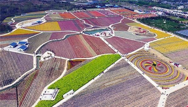 """河南""""中原小荷兰""""千亩郁金香绽放 航拍似彩色地毯"""