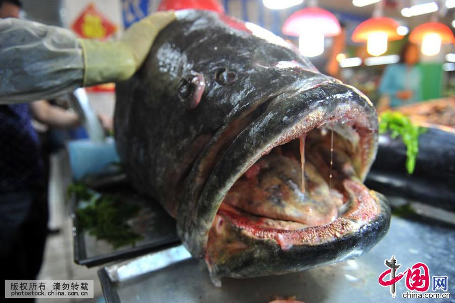 山东青岛:305斤巨型石斑鱼称霸海鲜市场[组图]
