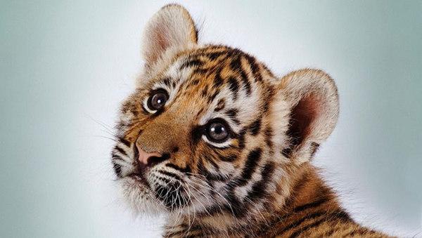 爱它,就别去打扰它(图片源自网络) 爱老虎,就送它们一份礼物 2016年7月29日,是第六个世界老虎日。爱老虎,请送它们一份特殊的节日礼物:动物友好型旅游方式。即拒绝老虎动物娱乐表演,让它们在真正属于自己的家园中自由生活,以动物友好的方式领略它们在大自然中的魅力。 世界动物保护协会在此提醒:旅行者们在旅行前,应询问旅游经营者是否有动物保护政策;拒绝食用野生动物;避免与野生动物合照;避免由野生动物制成的纪念品;避免骑野生动物等;最后,旅游者应该在动物们的自然栖息地观察他们,而不是去打扰它们。 大自然才是老