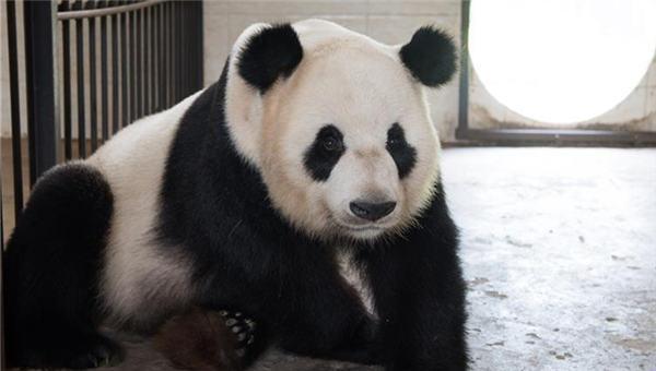探访华蓥山大熊猫野化放归培训基地