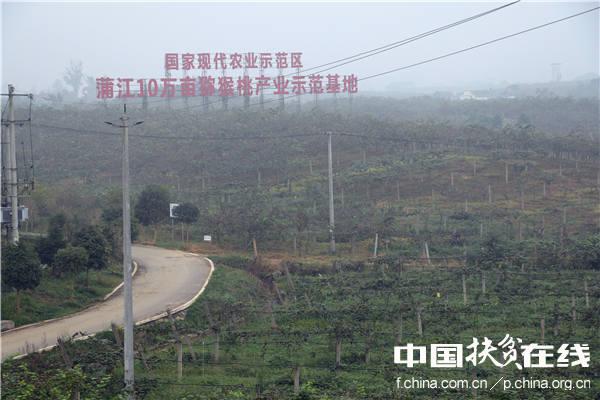 蒲江10万亩猕猴桃产业示范基地。王振红摄