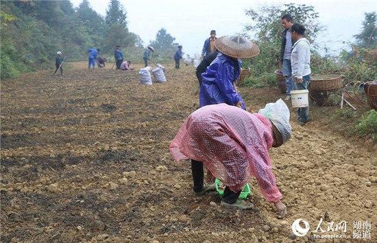 村民冒雨在山腰種植百合