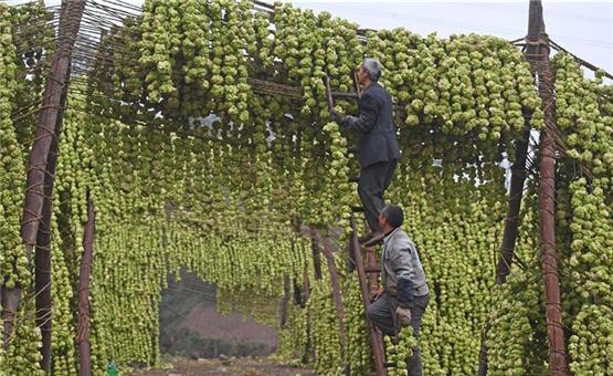 重庆:小菜头大产业 助推村民增收