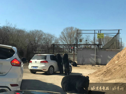 八达岭野生动物园 自驾车开窗引来熊袭