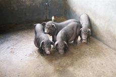 韦老市的香猪脱贫路