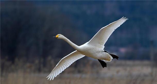 迁徙的天鹅