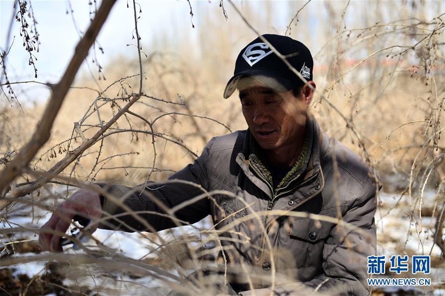 青海省海西蒙古族藏族自治州都兰县宗加镇诺木洪村农民孙海斌给枸杞苗