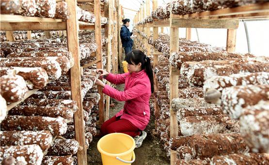 【镜头中的脱贫故事】广西三江:生态种菌助脱贫
