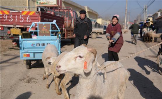 【镜头中的脱贫故事】孕羊送给残疾人 几年过后变羊群
