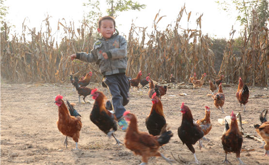 """【镜头中的脱贫故事】扶贫""""跑步鸡""""助农户增收"""