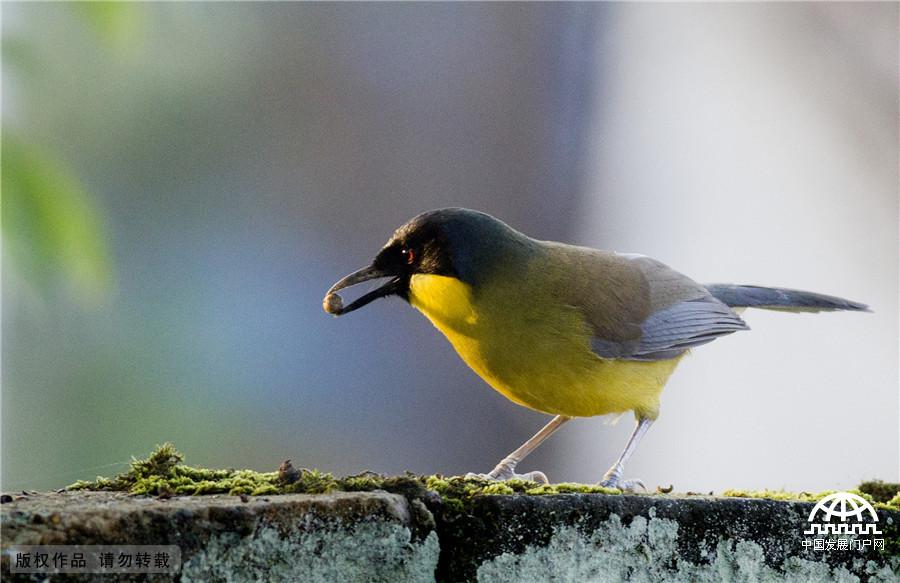世界最神秘鸟靛冠噪鹛栖息婺源 全球仅200只