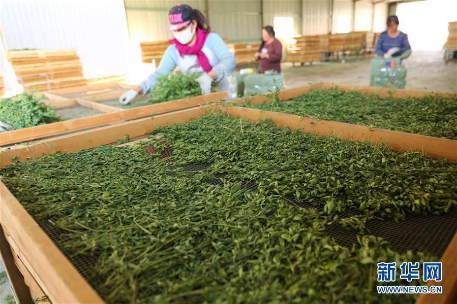 河北平泉:发展宠物草产业 助力精准脱贫