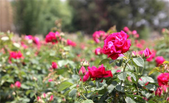 玫瑰花盛开 脱贫增收快