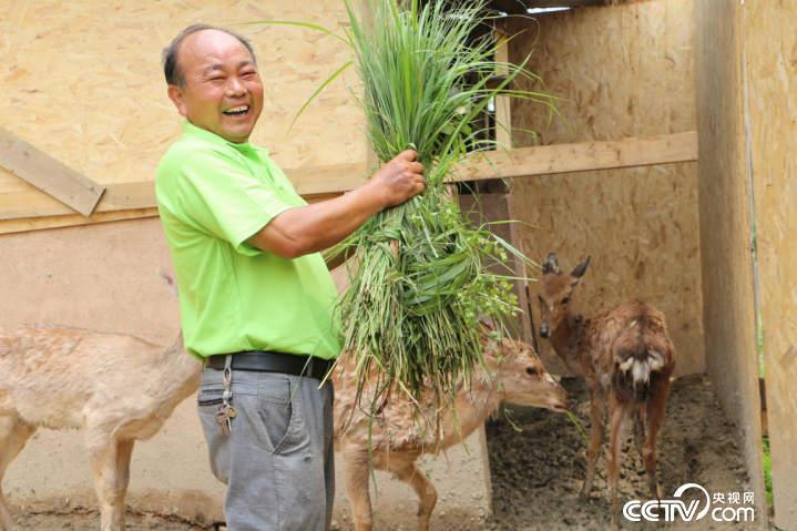 钟华锦的身份从护林员变为景区安保员,有时还帮忙养梅花鹿