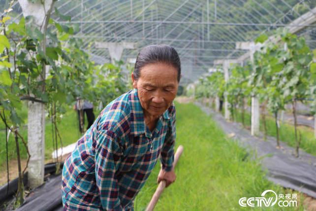 已经七十岁的陈凤英正在葡萄园里除草。