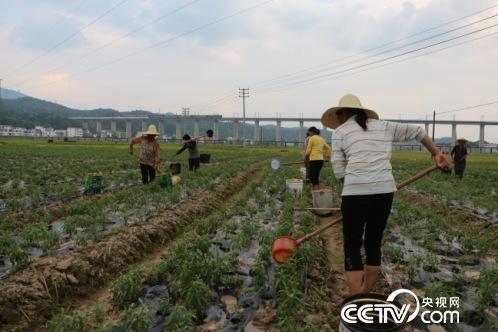 河埠村村民给甜叶菊浇水、施肥。