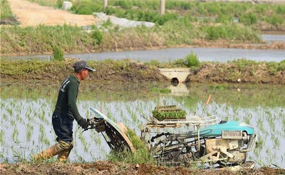 遼寧:水稻田裏插秧忙