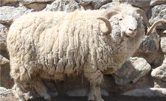 【镜头中的脱贫故事】青海茶卡羊 搭上扶贫快车